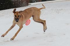 Frisbee in the snow  {Explored 2/6/2014} (moke076) Tags: park atlanta dog snow weather animal georgia flickr day snowy great moose explore frisbee dane romp splay 2014 snowpocalypse explored d7000