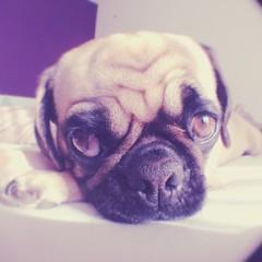 Moooooooooorning (brat_ro) Tags: dog chien pet cute animal cane puppy square fun tiere pug hund squareformat pugs mops carlino iphoneography instagramapp uploaded:by=instagram