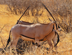 I've got your back! (Rainbirder) Tags: kenya ngc samburu beisaoryx oryxbeisa oryxbeisabeisa rainbirder