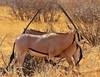 I've got your back! (Rainbirder) Tags: kenya ngc samburu beisaoryx oryxbeisa oryxbeisabeisa rainbirder