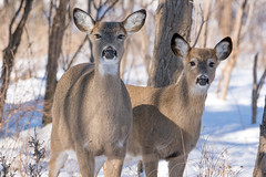 What are You Doing Here? (NaturalLight) Tags: snow doe deer kansas wichita whitetail chisholmcreekpark ksccna8820