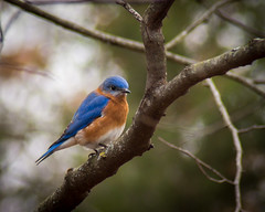 Gentleman Bluebird (PopsDigital) Tags: blue favorite orange color colour tree male bird birds horizontal wisconsin female landscape flying wings branch wing perch perched bluebird avian easternbluebird billpevlor popsdigital sonyslta77v