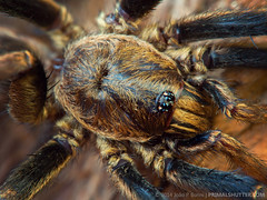 Nemesiidae: Rachias sp. (?) (Techuser) Tags: macro male nature animal yellow bug spider backyard close arachnid small stack aranha raynox mygalomorphae 45175 epl5