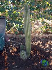 Stenocereus thurberi (cactusyaficiones) Tags: cactus thurberi stenocereus