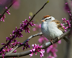 Chipping Sparrow (RayLotier) Tags: maryland sparrow chippingsparrow clarksburg
