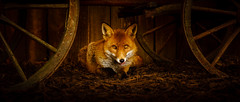 Watching and waiting (2) (S.R.Murphy) Tags: may2014 wentworthgardencentre animals fox redfox animal sony sonynex6 lightroom lightroom5 yorkshire southyorkshire england unitedkingdom inexplore 50favourites flickrexplore24052014 150favourites 100favourites 200favourites