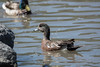 American Wigeon (Anas Americana) (Charles Moreau Photography) Tags: ontario duck nikon wildlife americana anas americanwigeon wigeon baldpate dabblingduck d7100