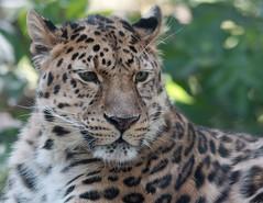 Amur Leopard (Annette Rumbelow) Tags: camera cats zoo big sony leopard wilson captive marwell bigcats amur a77 panthera pardus orientalis rumbelow leopardannette