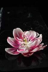 Tulip (mellting) Tags: eskilstuna lägenheten nikond500 platser bloggad flickr instagram matsellting mellting nikkor5018 nikon sverige sweden flower tulpan tulip tulipa