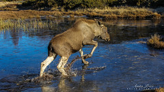 Elk in trouble (Anita Price Foto) Tags: smileonsunday smile iceday cool fun funny europeanelk elk moose animal nature natural blue winter spring blueice sunday smiles frozen frozenwater iced icy froze ice cold digital pond lake water outdoors outdoor reflection glace 7dwf fauna animals hss