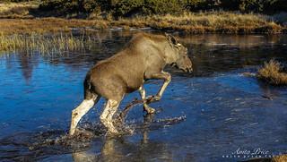Elk in trouble