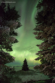 The Evergreens of Iceland