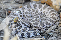 Serpentine (DirtyBoot~Prints) Tags: nature pattern reptile snake ground camouflage poison fangs coil predator rattle venom