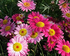 Pink Posies (Mary Faith.) Tags: