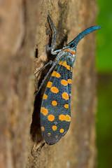 Lantern bug (Shaji Manshad) Tags: macro closeup bug moth insects kerala dk lantern lanternbug thattekad canon60d shajimanshad
