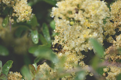 (k00k00kachoo) Tags: park flowers plants green nature yellow walking landscape outdoors photography bee yosemite meditation breathe highsierras motherearth sierranevadas pollinate