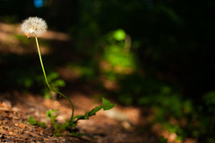 One left (Hkan Dahlstrm) Tags: park forest se skne sweden dandelion cropped sverige f28 helsingborg ramlsa eskilsminne 2013 skneln brunnspark canoneos5dmarkii sek ef40mmf28stm 7206062013184741