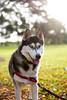 Athena (Gertrude139) Tags: dog happy husky siberianhusky sibe bieyed