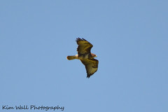 Buzzard_08062013_1a (Kim Wall Photography (Purplesun2001)) Tags: somerset buzzard nyland kimwallphotography