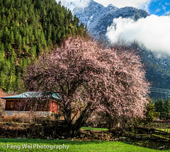 Peach Blossom, Bome, Tibet (Feng Wei Photography) Tags: china travel house mountain snow flower color tourism nature floral beautiful beauty rural season landscape countryside spring scenery colorful asia tour view outdoor scenic peach meadow peaceful tibet serenity vista tibetan remote serene bome linzhi nyingchi peachflower