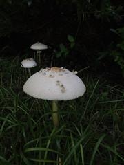 I followed their dawn footsteps... (Gabriel FW Koch) Tags: mushroom mushrooms elf elves