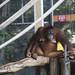 orangutan - toronto zoo - 07