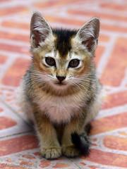 POSING PUSSY (kiki nagi) Tags: cats pets nature animals cat kitten feline pussy kittens