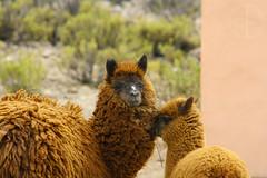 Alpacas (Pk13k) Tags: chile alpaca norte altiplano paulodavalos