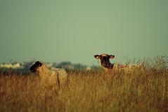 Gu de l'pine (Helodie) Tags: sheep lamb normandie moutons montsaintmichel baie agneau prsal herbus