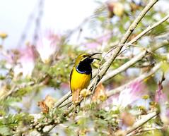 Male sunbird (Dan Armbrust) Tags: cannon queenslandaustralia sunbirds yellowbelliedsunbird queenslandaustralianbirds daintreebirds danarmbrust