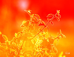 In  the light(In Explore) (G.LAI) Tags: light sunset red summer orange sun sunlight plant color sunshine painting photography photo painter photoart 1000views 5000views 7000views 9000views