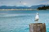 La Gabbianella (Andrea Marinelli ) Tags: lago nikon garda natura di desenzano gabbianella