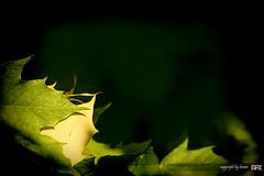 golden_leaf (alamond) Tags: autumn sun green leaves last canon naked gold golden is leaf ray bokeh 7d l usm ef 70300 llens f456