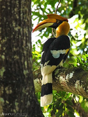 Great Hornbill (jishnu5) Tags: me true by wow for is indian great dream precious sound what photographed came tat hornbill babu jishnu valparai kock a satheesh