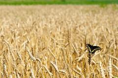 Bl (jourduf) Tags: rural champagne agriculture t campagne bl rcolte premieremoisson