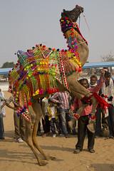 Camel exhibition in Pushkar - India (Bertrand Linet) Tags: red india girl animal fair camel pushkar rajasthan indiangirl camelfair pushkarcamelfair pushkarfair pushkarmela pushkarkamela indianmela indianfair rajasthangirl fairpushkar bertrandlinet melaindia rajasthanmela indiamela pushkarmella