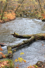 Oirase Stream (S Tu) Tags: autumn fall water japan river aomori