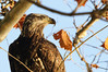Posing for the Paparazzi (Jon Wittman Photography) Tags: bird fishing nikon eagle wildlife baldeagle maryland elements nikkor birdsofprey susquehannariver americanbaldeagle 70200mm conowingo d90 tc17e nikond90 juvenileamericanbaldeagle elementsorganizer jpwphotography