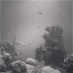 they call it red sea (Arina Borevich) Tags: sea blackandwhite bw fish nature square israel underwater redsea nobody eilat corals 4s iphone iphoneography instagram iphone4s