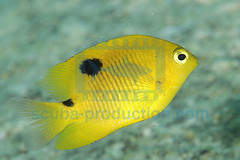2009-02 HERBLAND MARTINIQUE THREESPOT DAMSELFISH STEGASTES PLANIFRONS 7921