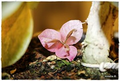 Macro Bougainvillea Flower (AmeliaPhotoAme) Tags: macro nature reflections small mini bougainvillea artsy bonsai bloom