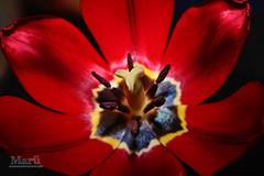 perfeccion... (marumirolejos) Tags: tulipa tulipan bulbosas lilioideae
