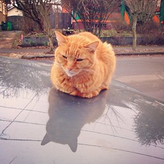 Marmalade Catloaf (liquidnight) Tags: cameraphone camera winter orange cats pets reflection cute car animals portland sitting tabby hood catloaf pdx felines loaf katzen marmalade kittyloaf iphone notmycat iphone5 iphoneography instagram uploaded:by=flickrmobile flickriosapp:filter=nofilter