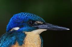 Half-collared Kingfisher (Alcedo semitorquata) (Ian N. White) Tags: southafrica wilderness westerncape halfcollaredkingfisher alcedosemitorquata