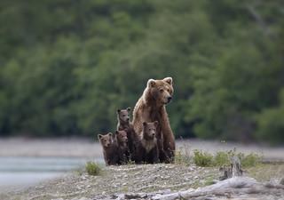 Alaska Brown Bear with four young
