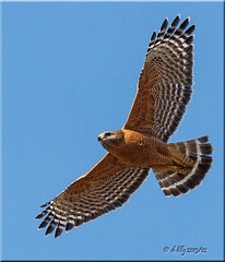 'nice enough' (d-lilly) Tags: ngc flight npc redshoulderedhawk napacounty avianexcellence blinkagain abernathyrd flickrsfinestimages1
