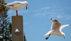 seagulls (13) (bertknot) Tags: seagulls seagull gull gulls mwe gaviota meeuw meeuwen gabbiano gaivota goland ms lokki zeemeeuw mge zeemeeuwen mewa sirly dalg   diemwe mouettedupegolandgolandbeccerclgolandargentgolandcendrgolandmarinmouetterieuse zeemeeuwenmeeuw