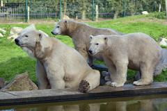 Polar Bear & Her Young (Truus & Zoo) Tags: netherlands animals zoo cub young nederland polarbear ijsbeer jong vulnerable dierentuin ursusmaritimus nuenen dierenrijk welp