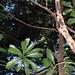 low tangled rainforest with Anopterus glandulosus
