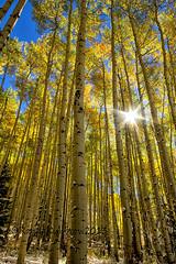 Let the Light Shine Through (RondaKimbrow) Tags: trees nature beauty yellow landscape colorado grove hiking bluesky tall aspen sunray fall2013 rondakimbrowphotography